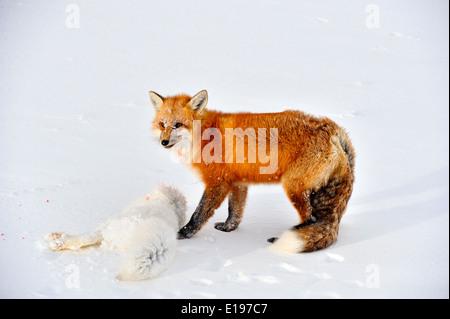 Le renard roux (Vulpes vulpes) consommant un renard arctique (Alopex lagopus) carcasse il tué le parc national Wapusk, Banque D'Images
