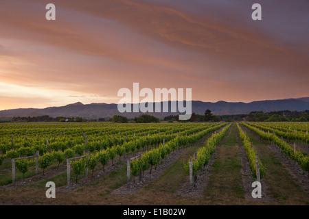 Vignoble de l'aube, Renwick, près de Blenheim, région de Marlborough, île du Sud, Nouvelle-Zélande, Pacifique Sud Banque D'Images