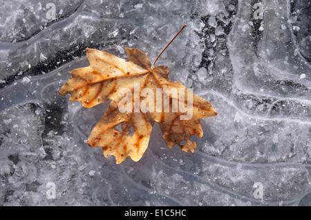 Une feuille d'érable en couleurs d'automne sur la glace. Banque D'Images