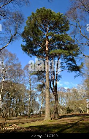 Seul le pin sylvestre - Pinus sylvestris, Matley Wood, parc national New Forest, Hampshire Banque D'Images