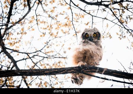 Owlet Grand-duc (Bubo virginianus) sur les yeux jaunes sud de la vallée de l'Okanagan Penticton British Columbia Banque D'Images