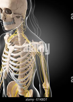 Système nerveux femelle de l'oeuvre de l'ordinateur. Banque D'Images