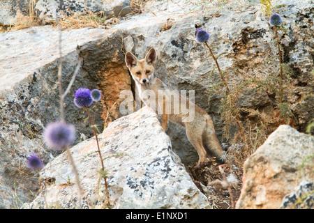 Le renard roux (Vulpes vulpes). Le renard roux est le plus grand des vrais renards, Banque D'Images
