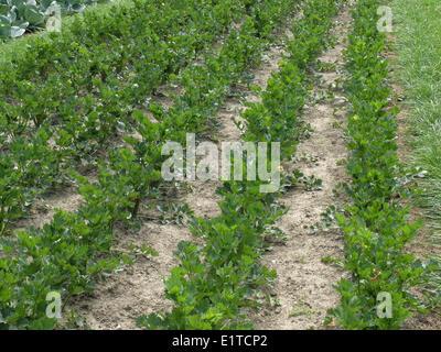 Le céleri-rave (Apium graveolens var. rapaceum) Banque D'Images