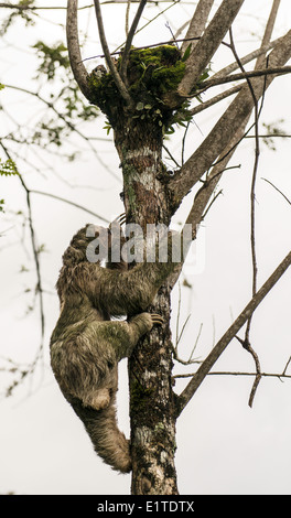 Brown-throated paresseux tridactyle de grimper sur un arbre Costa Rica Banque D'Images
