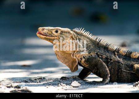 Iguane noir Ctenosaura similis reptile Parc National Manuel Antonio, Costa Rica Banque D'Images