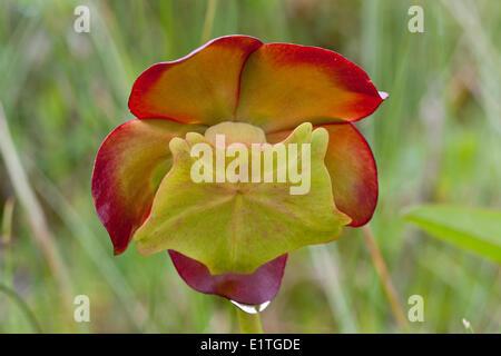La fleur sur une sarracénie pourpre (Sarracenia purpurea) dans le parc national du Gros-Morne à Terre-Neuve - cette plante carnivore