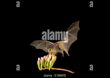 Bec long moindre Leptonycteris yerbabuenae (bat), se nourrissant de fleur d'Agave, Amado, Arizona. Cette chauve-souris est classé vulnérable.