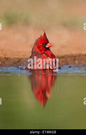 Cardinal rouge (Cardinalis cardinalis), homme echelle, Laguna Seca Ranch, près de Edinburg, Texas du Sud. Banque D'Images