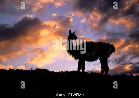 Des profils guanaco (Lama guanicoe), Parc National Torres del Paine, Patagonie, sud du Chili, en Amérique du Sud Banque D'Images