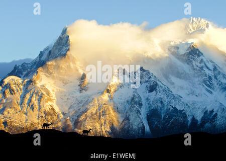 Des profils des guanacos (Lama guanicoe), Parc National Torres del Paine, Patagonie, sud du Chili, en Amérique du Sud