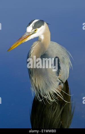 Des profils grand héron (Ardea herodias) en plumage nuptial, le sud de la Floride, USA Banque D'Images