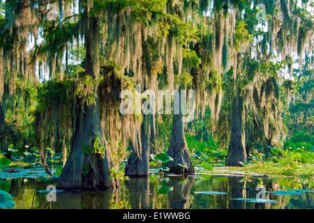 Cypress swamp, Achafalaya River Basin, le sud de la Louisiane, États-Unis Banque D'Images