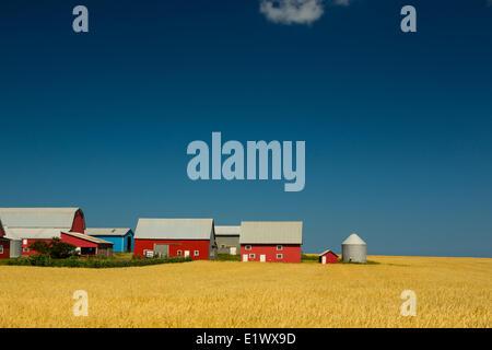 Granges rouges dans champ de grain, Park, Prince Edward Island, Canada Banque D'Images