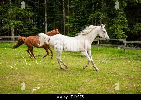 Un arabianand et un cheval alezan qui s'exécute dans un domaine vert à Courtenay, Colombie-Britannique, Canada