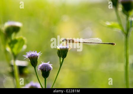 Sur la petite demoiselle fleur pourpre