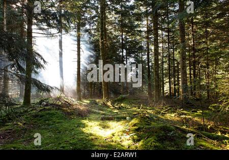 France, Puy de Dome, le Parc naturel régional Livradois Forez (parc naturel régional du Livradois Forez), forêt de Boisgrand