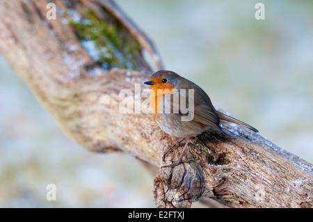 European robin (Erithacus rubecula aux abords) des profils perché sur une branche légèrement poudré de neige à Nethy Banque D'Images