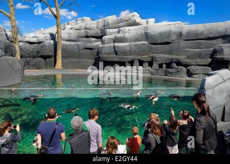 France Paris Parc Zoologique de Paris (Zoo de Vincennes) manchot de Humboldt (Spheniscus humboldti) dans l'environnement côtier froid reconstitué en enrochement bassin environnant biozone Patagonie Banque D'Images