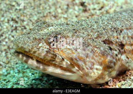 Brown lizardfish (Synodus synodus) sur fond de sable, au sud de Tenerife, Îles Canaries, Espagne, Banque D'Images