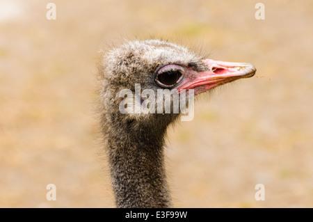 Autruche (Struthio camelus) Banque D'Images