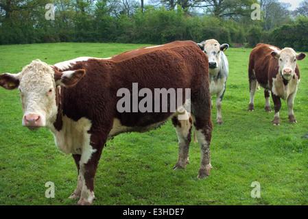 Enceinte en veau génisses Hereford - les jeunes bovins à viande