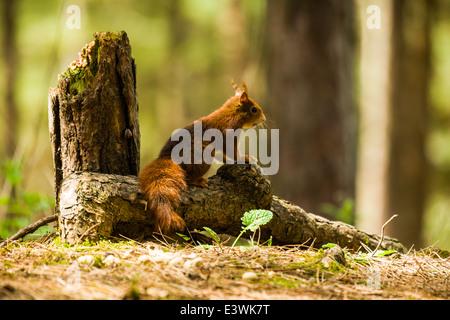 L'écureuil roux à regarder pour les prédateurs
