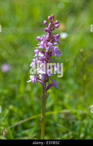 Une orchidée parfumée, Gymnadenia conopsea, plantes de prairie en été craie court Banque D'Images