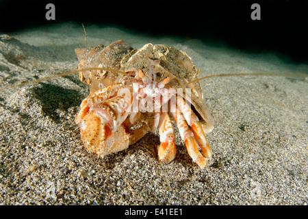 L'ermite de commune ou d'un soldat du crabe, Reykjavík, gardur, baie de faxafloi, l'Islande, de l'Atlantique nord Banque D'Images