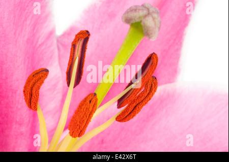 Avec de l'étamine et pistil du pollen d'une Lily rose en gros plan extrême en blanc isolé Banque D'Images