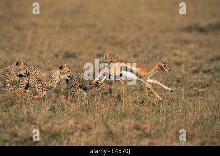 Cheetah cubs chasse, Masai Mara, Kenya. La poursuite de la gazelle de Thomson, fauve 'Frisky's' 3ème l'apprentissage Banque D'Images