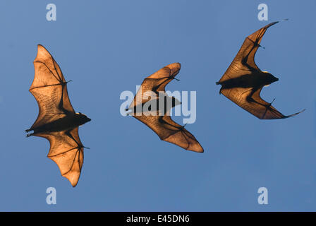 Madagascar bat fruits / flying fox (Pteropus rufus) Bryanston, Madagascar (Digital composite) Banque D'Images
