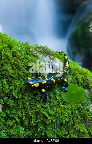 Salamandre terrestre européenne Salamandra salamandra} {Alcornocales NP, Cadix, Andalousie, Espagne Banque D'Images
