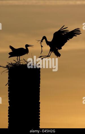 Cigogne Blanche (Ciconia ciconia) atterrissage avec le matériel du nid, se découpant au crépuscule, Rusne, parc Banque D'Images