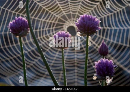 La floraison de la ciboulette (Allium schoenoprasum) en face d'une web spiders, archipel de Stockholm, Suède, Juin Banque D'Images