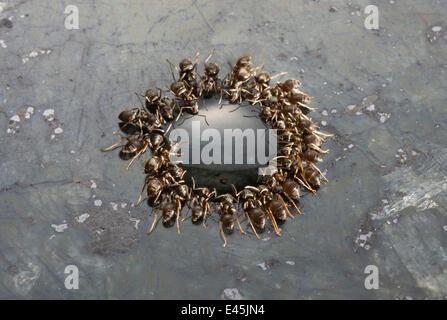 Fourmis noires jardin} {Lasius niger se nourrissant de goutte d'érable sur une surface de travail en granit, UK Banque D'Images