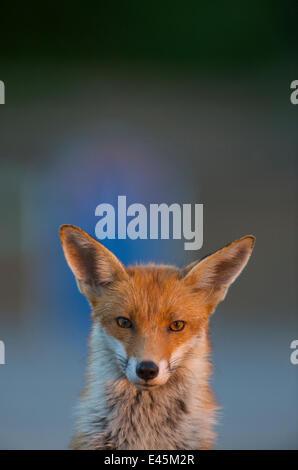 Urban red fox (Vulpes vulpes) portrait, Londres, mai 2009 Banque D'Images