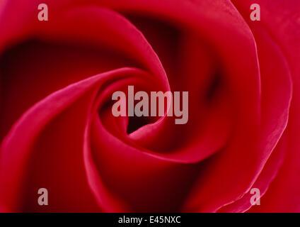 Red Rose (Rosa sp), verticille pétales, fleur Banque D'Images