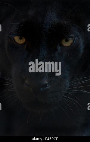 Close up tête portrait de melanistic / black Leopard (Panthera pardus)