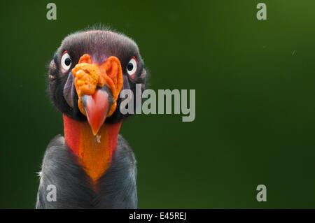 Tête portrait de vautour pape (Sarcoramphus papa) Santa Rita, Costa Rica Banque D'Images