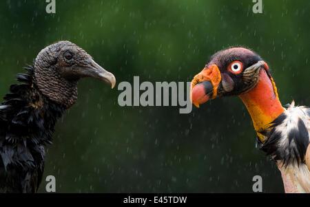 Portraits de tête de vautour pape (Sarcoramphus papa), droit et urubu noir (Coragyps atratus) gauche. Santa Rita, Banque D'Images