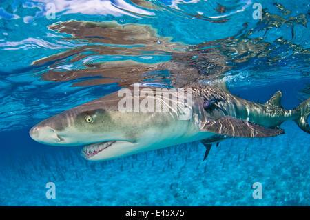 Le requin citron (Negaprion brevirostris) dans les eaux peu profondes d'une réflexion à la surface. Petit banc des Banque D'Images