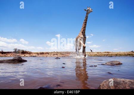 Les Masais Girafe (Giraffa camelopardalis tippelskirchi) traverser la rivière Mara - Point de vue grand angle, Masai Banque D'Images
