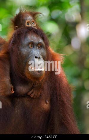 Orang-outan (Pongo pygmaeus) wurmbii «femme Peta' portant son bébé fille 'Petra' âgés de 12 mois. Camp Leakey, parc Banque D'Images
