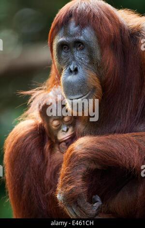 Orang-outan (Pongo pygmaeus) wurmbii «femme Tutut' assis avec son bébé endormi 'Thor' de 8-9 mois. Camp Leakey, Banque D'Images