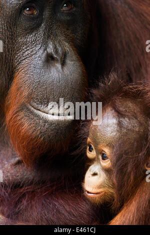 Orang-outan (Pongo pygmaeus) wurmbii «femme Yuni' et son bébé âgé de 3 à 6 mois - portrait. Camp Leakey, parc national Banque D'Images
