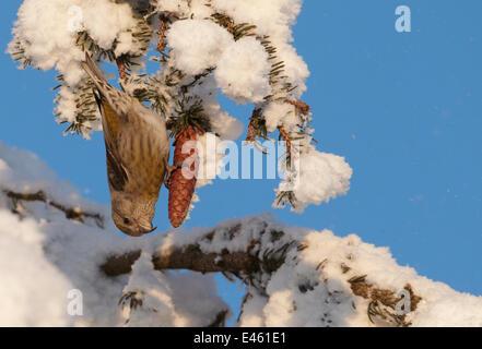 Bec-croisé des sapins (Loxia curvirostra commun) de femmes qui se nourrissent de l'épinette d'un cône. Kuusamo, Banque D'Images