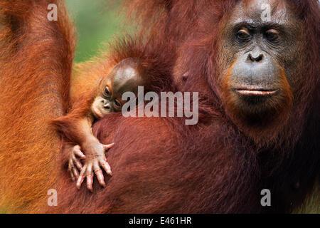 Orang-outan (Pongo pygmaeus) wurmbii 'femelle' Tata et son bébé âgé de 2 à 3 mois sans nom portrait. Camp Leakey, Banque D'Images