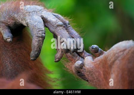 """L'orang-outan de Bornéo (Pongo pygmaeus) wurmbii """"femelle"""" du iswi hand holding foot close-up. Camp Leakey, parc Banque D'Images"""