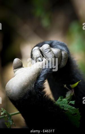 Gorille des plaines de l'Est (Gorilla gorilla graueri) main et pied de jeune gorille, Kahuzi Biega NP, République Banque D'Images
